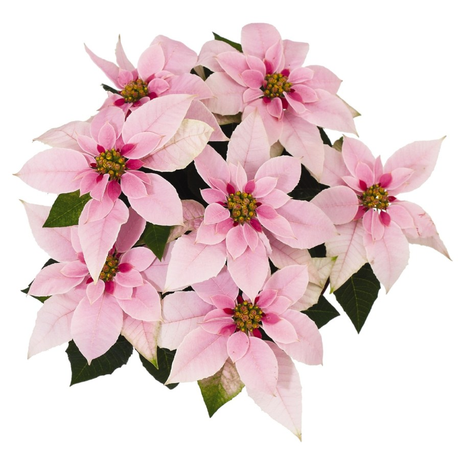 Princetta Pink Image