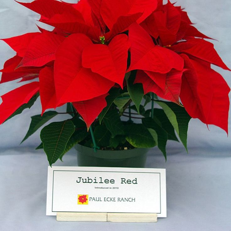 Jubilee Red Image