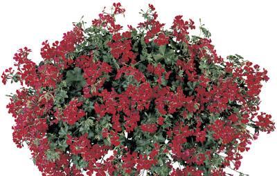 Blizzard® Dark Red Image