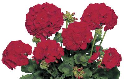 Fidelity™ Dark Red (Samba) Image
