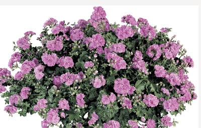 Contessa™ Double Lilac (Summer Rose Lilac) Image