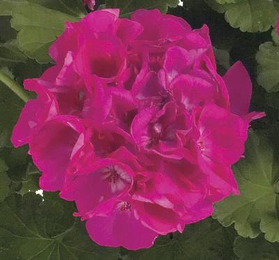 Fidelity™ Hot Pink (Tiffany) Image