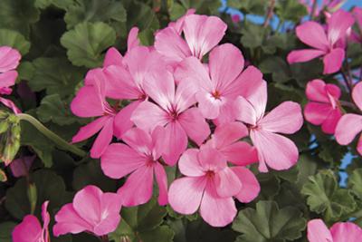 Caliente® Pink Image