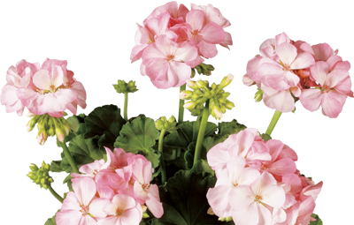 Classic™ Pink Blush (Aquarello) Image