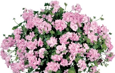 Contessa™ Pink (Pink Spirit) Image
