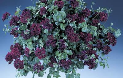 Contessa™ Purple (Black Magic) Image