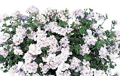 Temprano™ White (Blanche Roche) Image