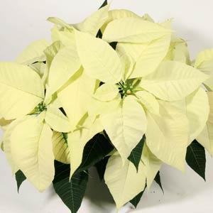 Christmas Feelings White Image