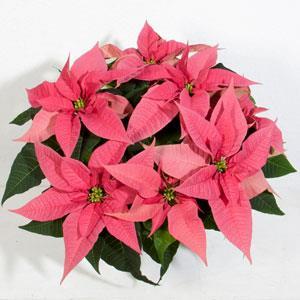 Christmas Joy Pink Image