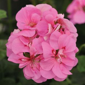 Royal Pink Image