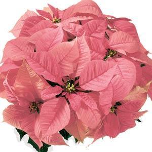 Christmas Feelings Pink Image