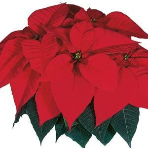 Christmas Feelings Red Image