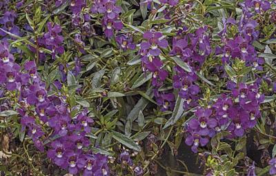 Carita™ Cascade Deep Purple Image