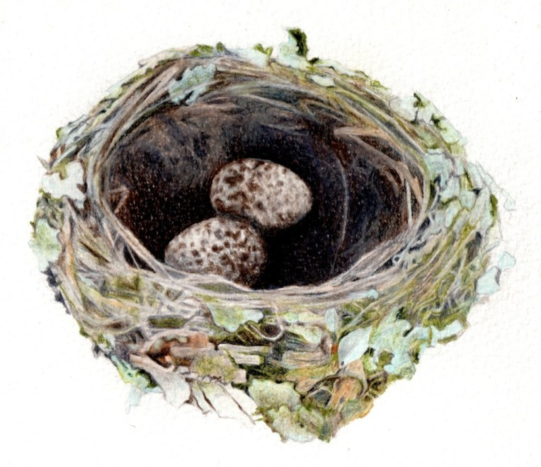 Pink robin's nest (Petroica rodinogaster) 2014 Watercolour pencil on paper 200 x 200mm Original: SOLD Print: $60 (unframed)