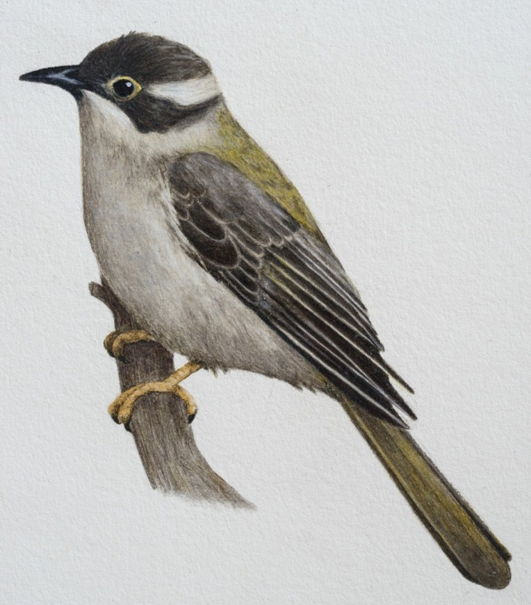 Brown-headed honeyeater (Melithreptus brevirostris) 2015 Prismacolor pencil & gouache on paper 150 x 170mm Original: $350 (unframed) Print: $60 (unframed)