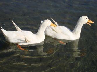 Milos_ducks