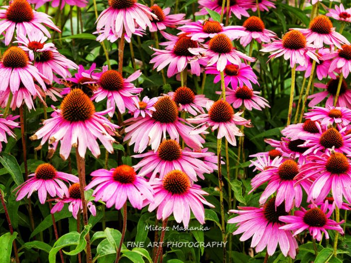 echinacea purpurea (eastern purple coneflower or purple coneflower) flowers in bloom