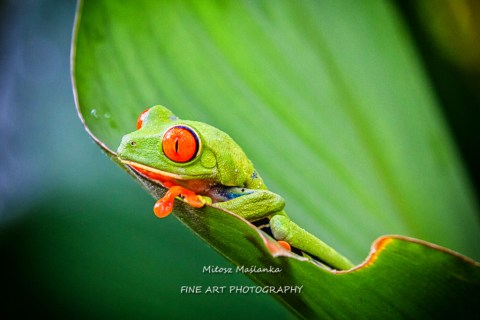 Agalychnis callidryas, known as the red-eyed tree frog captured in Costa Rican jungle.