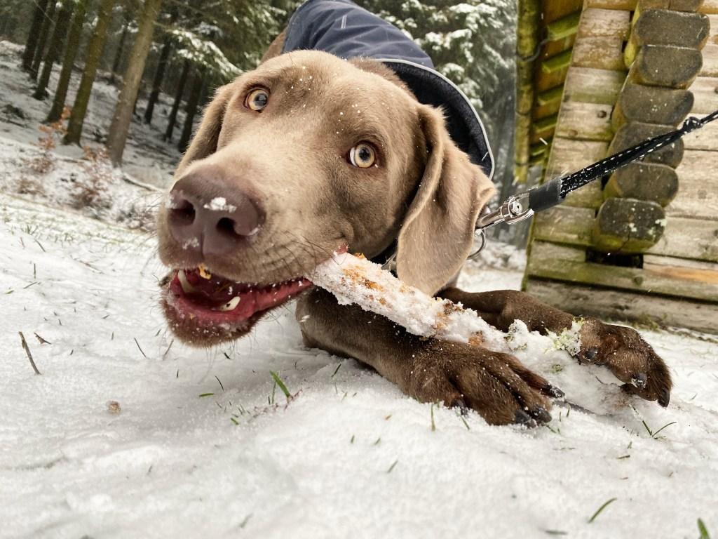 Highlight der Woche_unser Labmaraner Milow zum ersten Mal im Schnee in Altastenberg