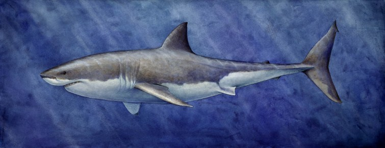A life-sized mural of this illustration was on exhibit at Monterey Bay Aquarium during the temporary exhibit: Sharks: Myth and Mystery