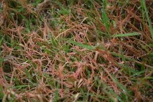 Kornatka travni