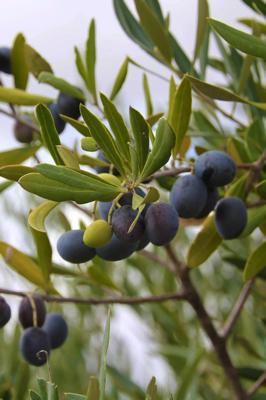 Oliiviõli Oliveira da Serra Maduro oliivid puu peal