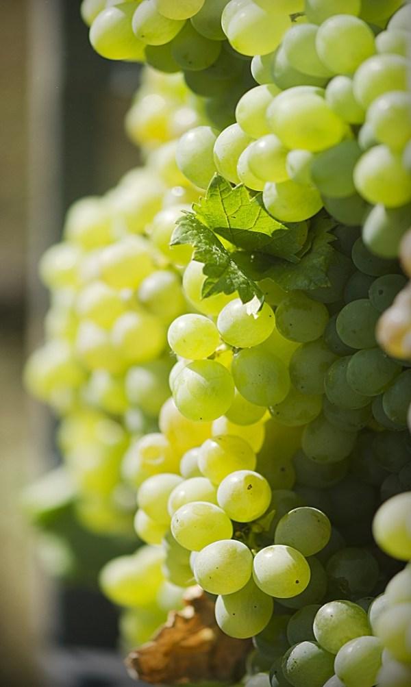 vinho verde vein