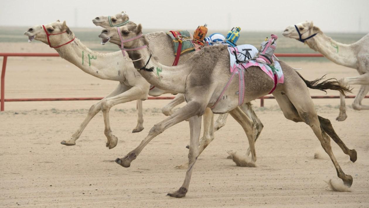 Camellos robots