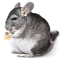 alimentacion chinchillas
