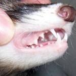 cuidados hurones alimentacion dientes
