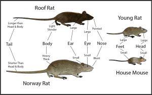 diferencias ratas y ratones