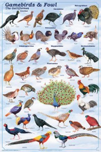 Clasificación aves Galliformes