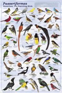 Clasificación aves Paseriformes