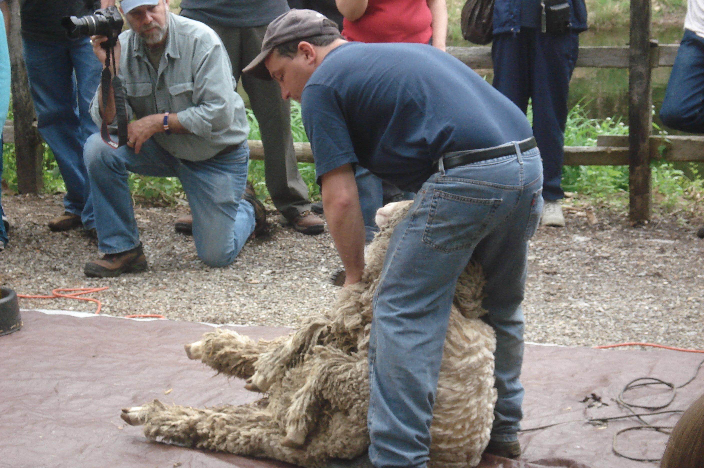 Pete the Sheep Shearer