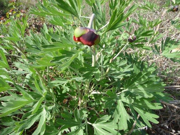 Wild Peony Flower