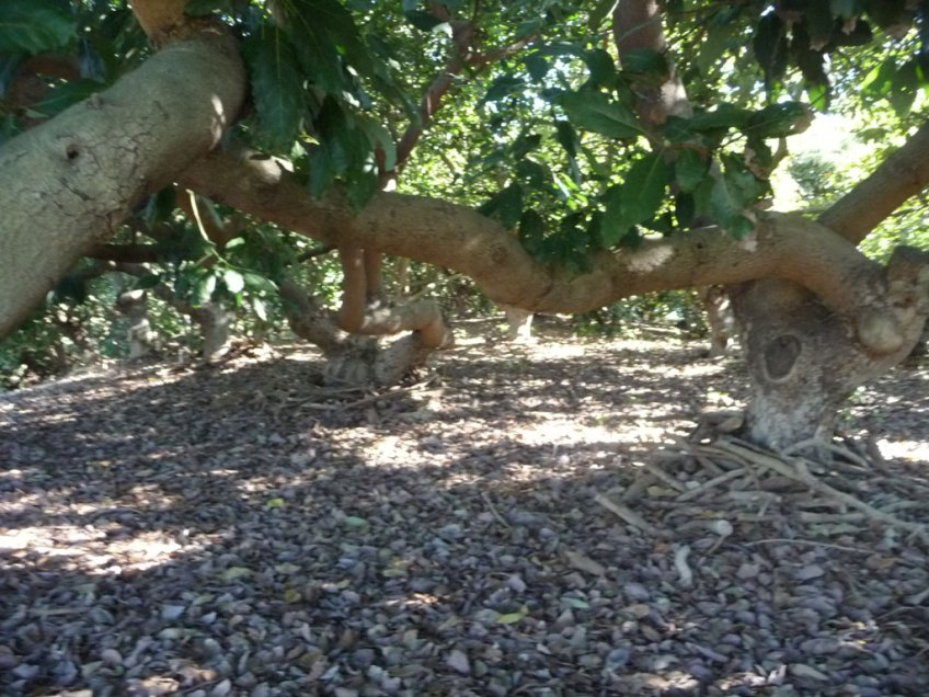 Fuerte trees