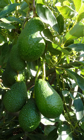 new crop of avocados