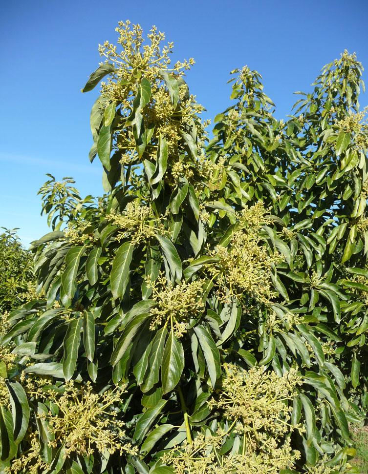 avocado tree in bloom