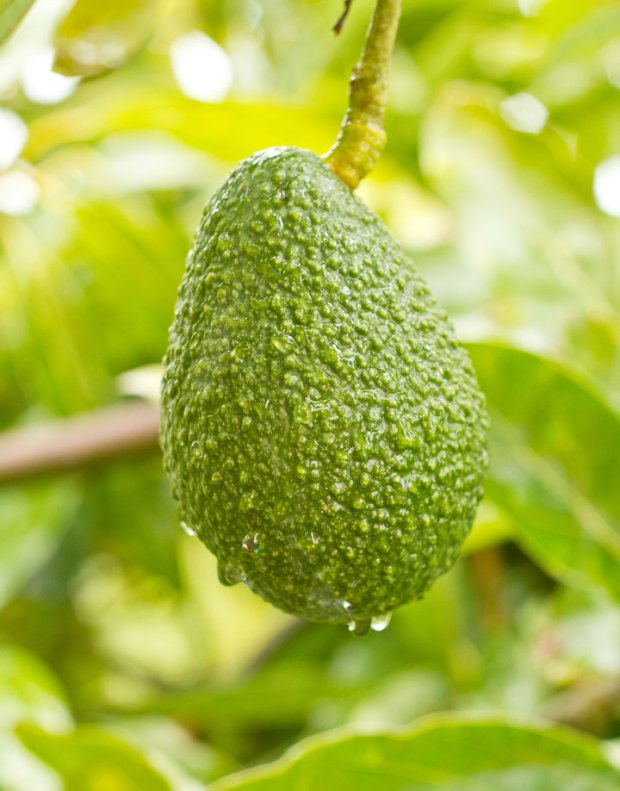 avocado hanging in a tree on a rainy day