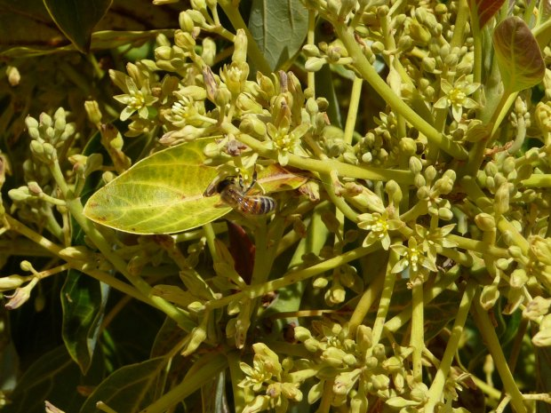 bees pollinate avocado flowers