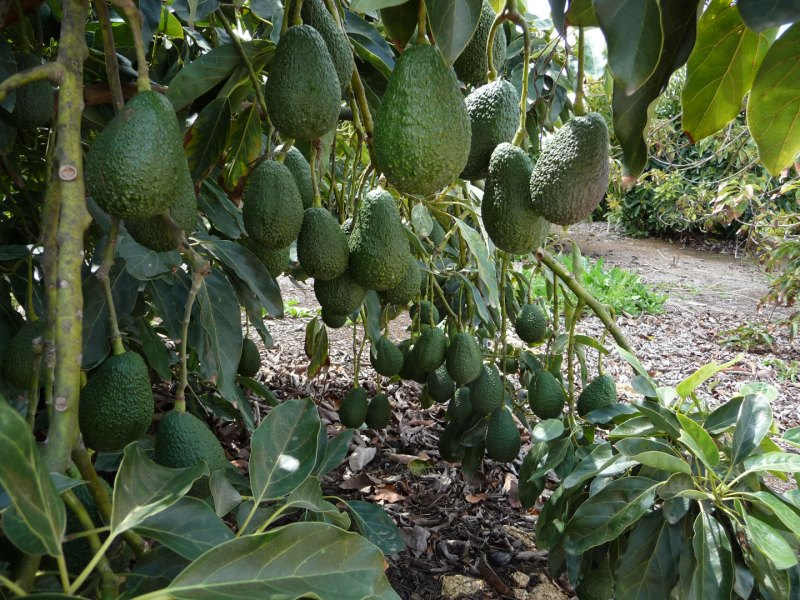 mature avocados are ready to pick!