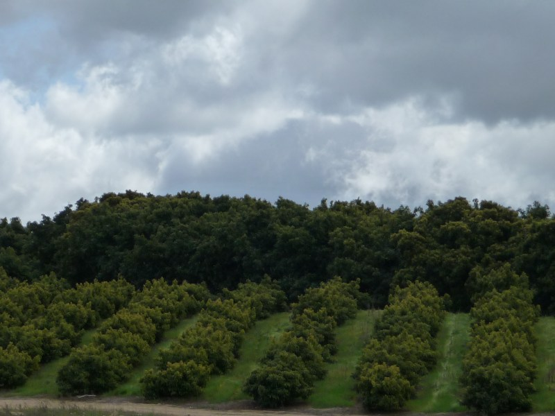 Avocado grove with older trees and younger trees