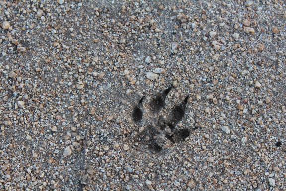 animal track