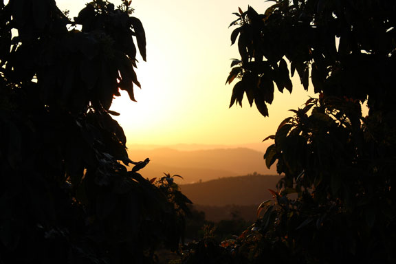 Golden Sunset in the Avocado Grove