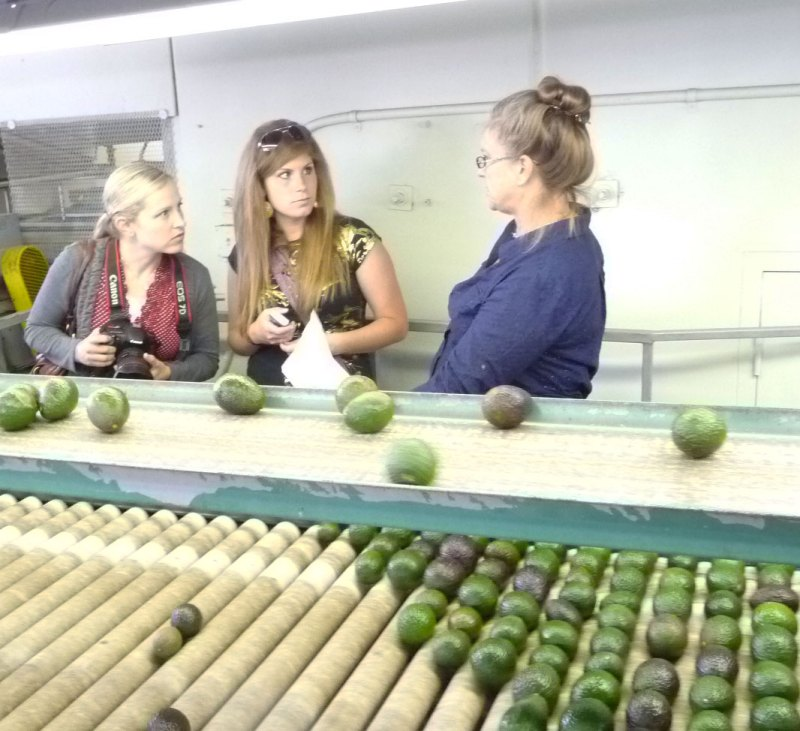 avocado sorting