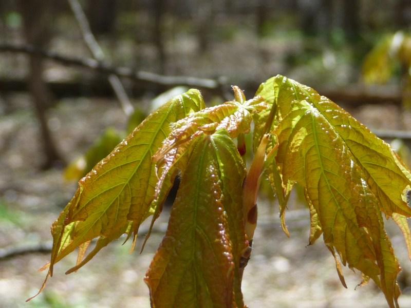 maple seedling
