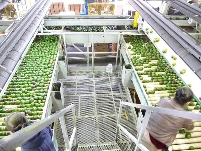 sorting avocados