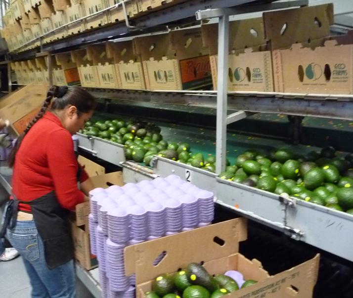 avocado packing house