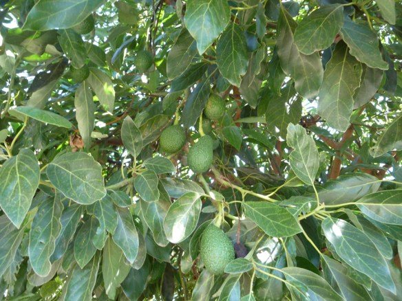 avocados growing in September heat