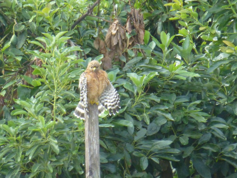 Red Tail Hawk in our grove
